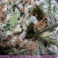 Indica Champion Pack (Paradise Seeds)