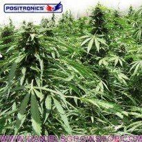 Afghan Express Auto (Positronics)