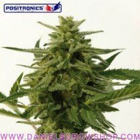 Northern Haze Express Auto (Positronics)