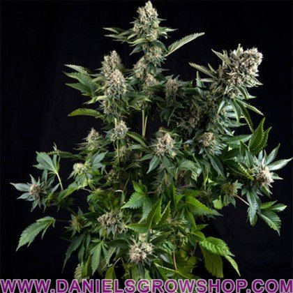 White Widow (Pyramid Seeds)
