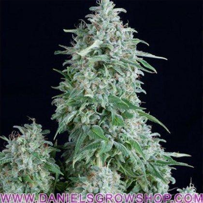 Anubis (Pyramid Seeds)