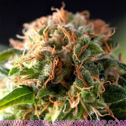Fresh Candy (Pyramid Seeds)