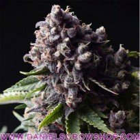 Auto Purple (Pyramid Seeds)