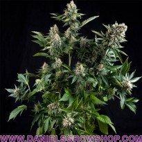 Auto White Widow (Pyramid Seeds)