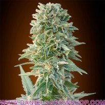 Auto Jack Herer (Advanced Seeds)