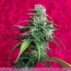 Juanita la Lagrimosa (Reggae Seeds)
