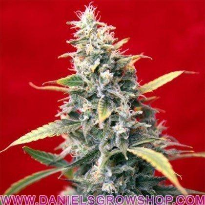 Sra Amparo (Reggae Seeds)