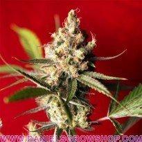 Dub (Reggae Seeds)
