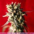 Roots (Reggae Seeds)
