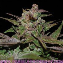 Purple Wreck (Reserva Privada)