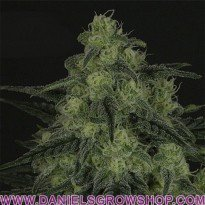 Black Valley (Ripper Seeds)