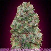 Bubble Gum (00 Seeds)