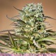 Coleccionista 1 (Ripper Seeds)