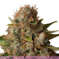 White Widow (Royal Queen)