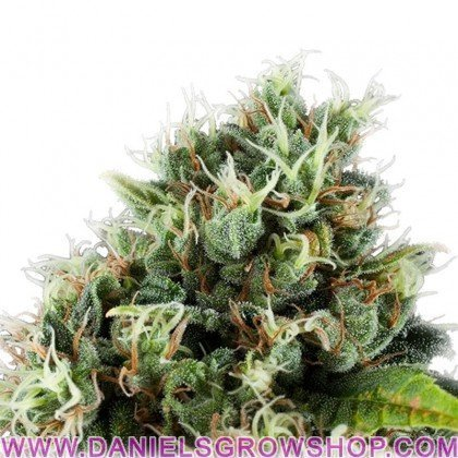 Power Flower (Royal Queen)