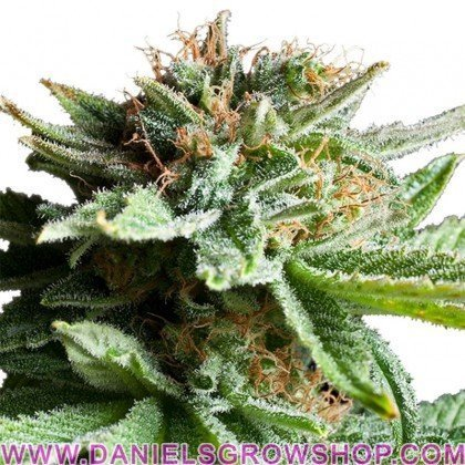 Shining Silver Haze (Royal Queen)