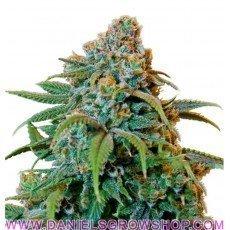 Haze Berry (Royal Queen)