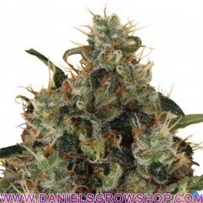 Medical Mass (Royal Queen)