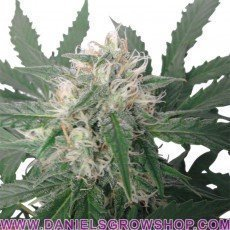 Royal Bluematic Auto (Royal Queen)