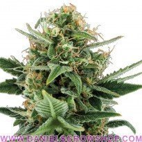Royal Jack Auto (Royal Queen)