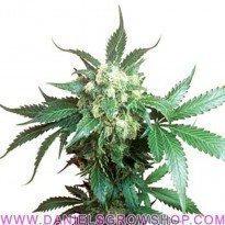 Black Domina (Sensi Seeds)