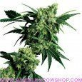 Mr Nice G13 x Hashplant (Sensi Seeds)