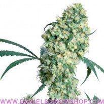 Edición Rosenthal Super Bud (Sensi Seeds)