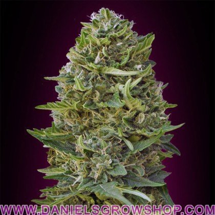Caramel Kush (00 Seeds)
