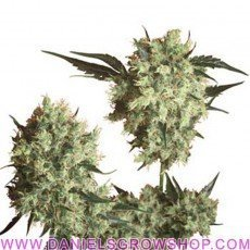 Marley's Collie (Sensi Seeds)