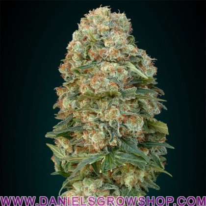 Feminized Collection 1 (Advanced Seeds)