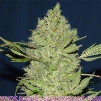 Chronic (Serious Seeds)