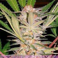SAD S1 (Sweet Seeds)