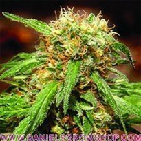Sweet Tai (Sweet Seeds)