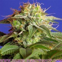 Green Poison (Sweet Seeds)