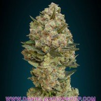 Feminized Collection 2 (Advanced Seeds)