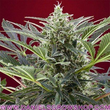 Cream 47 (Sweet Seeds)