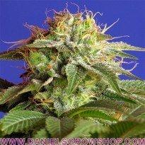 Green Poison Fast V (Sweet Seeds)