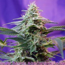 Sweet Special Fast V (Sweet Seeds)