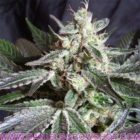 Black Jack Fast Version (Sweet Seeds)
