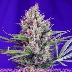 Cream Mandarine F1 Fast (Sweet Seeds)