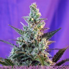 Sweet Skunk F1 FV (Sweet Seeds)