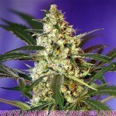 Fast Bud Auto (Sweet Seeds)