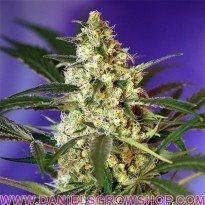 Fast Bud 2 Auto (Sweet Seeds)
