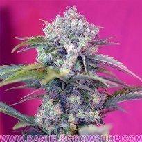 Cream Mandarine Auto (Sweet Seeds)
