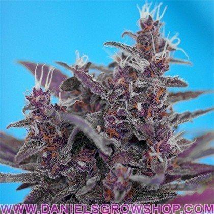 Black Cream Auto (Sweet Seeds)