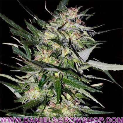Feminized Collection 4 (Advanced Seeds)