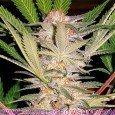 Edición Coleccionista 2 (Sweet Seeds)
