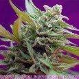 Edición Coleccionista Autoflorecientes 2ª Generación (Sweet Seeds)