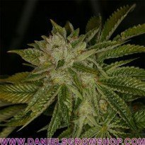 MK Ultra (TH Seeds)