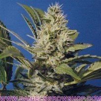 Chocolate Chunk (TH Seeds)